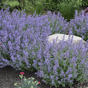'Cat's Meow' - Catmint - Nepeta faassenii