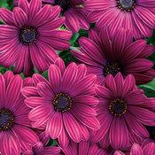 new_osteospermum_bright_lights_purple_2020.jpg