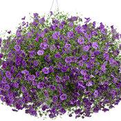 nierembergiablueskies1.jpg