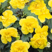 Nonstop® Joy Yellow - Tuberous Begonia - Begonia x tuberhybrida