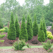 North Pole Thuja (arborvitae)