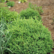 North Star Buxus (boxwood)