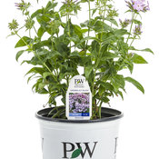 opening_act_blush_phlox_branded_container.jpg
