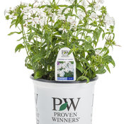 opening_act_white_phlox_branded_container.jpg