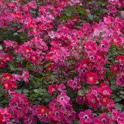 oso_easy_cherry_pie_rose-2501.jpg