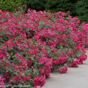 oso_easy_cherry_pie_rose-2505.jpg