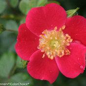 Oso Easy Cherry Pie Rose