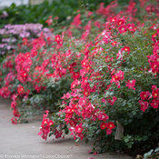 Oso Easy® Cherry Pie - Landscape Rose - Rosa x