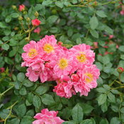 oso_easy_double_pink_rose_1.jpg