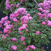 oso_easy_double_pink_rose_3.jpg
