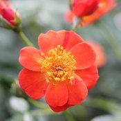 oso_easy_hot_paprika_rose_flowers.jpg