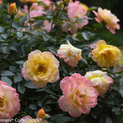 oso_easy_italian_ice_rose-5728-2.jpg