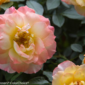 oso_easy_italian_ice_rose-5732.jpg
