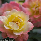 oso_easy_italian_ice_rose-5734.jpg