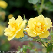 Oso Easy Lemon Zest Rose
