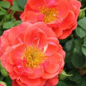 oso_easy_mango_salsa_rose-4766.jpg