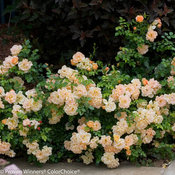 oso_easy_peachy_cream_rose-7361.jpg