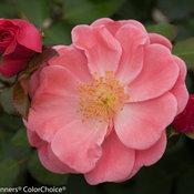 oso_easy_pink_cupcake_rosa-0088.jpg
