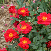 Oso Easy Urban Legend Landscape Rose