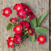 oso_happy_candy_oh_rose-5.jpg