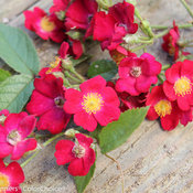 oso_happy_candy_oh_rose-6.jpg
