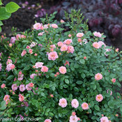 oso_happy_petit_pink_rose-2.jpg