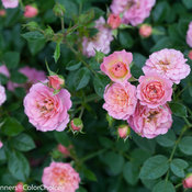 Oso Happy Petit Pink Rose