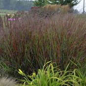 Prairie Winds® 'Cheyenne Sky' - Red Switch Grass - Panicum virgatum
