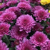 Paradiso Pink Garden Mum - Chrysanthemum grandiflorum