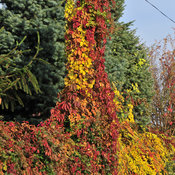 parthenocissus_red_wall-4.jpg