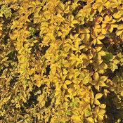 'Yellow Wall' - Virginia Creeper - Parthenocissus quinquefolia