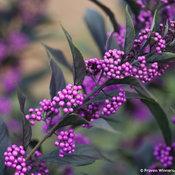 Pearl Glam® - Beautyberry - Callicarpa x