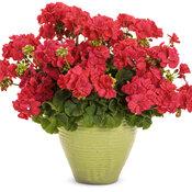Boldly® Coral - Geranium - Pelargonium