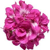 pelargonium_boldly_hot_pink_improved_macro_02.jpg