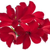 pelargonium_timeless_fire_02.jpg
