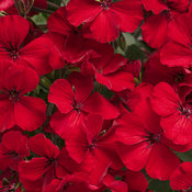 pelargonium_timless_fire_tag.jpg