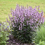 penstemon_midnight_masquerade_apj19_11.jpg