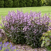 penstemon_midnight_masquerade_apj19_12.jpg