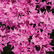 Sunstar® Lavender - Egyptian Star Flower - Pentas lanceolata