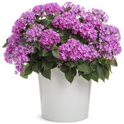 pentas_sunstar_lavender.jpg