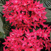 pentas_sunstar_red.jpg