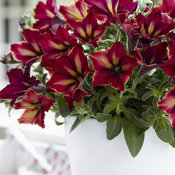 petunia-crazytunia-mandeville-002.jpg