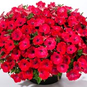 petunia_good_and_plenty_pomegranate-51_michells.jpg