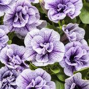 Supertunia® Priscilla - Petunia hybrid
