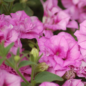 Surfinia® Summer Double Pink™