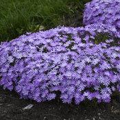 Bedazzled Lavender - Hybrid Spring Phlox - Phlox digitalis