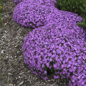 Bedazzled Pink - Hybrid Spring Phlox - Phlox hybrid