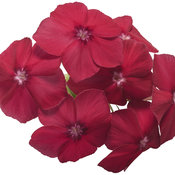 Intensia® Red Hot - Phlox
