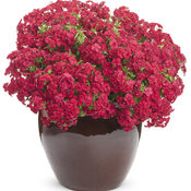 phlox_intensia_red_hot_mono.jpg