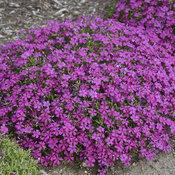 Mountainside™ 'Majestic Magenta' - Hybrid Spring Phlox - Phlox hybrid